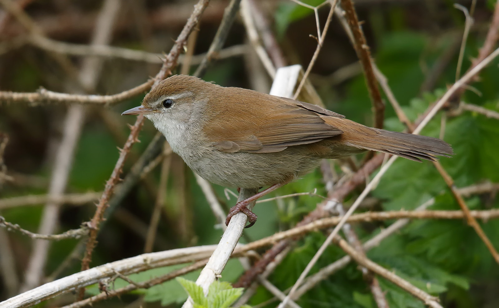 Cetti's Warbler [tricky customers]