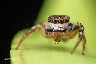 Jumping spider (Cytaea oreophila) - DSC_7670