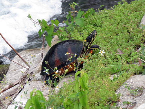 Florida Red-bellied Cooter | by magnificentfrigatebird