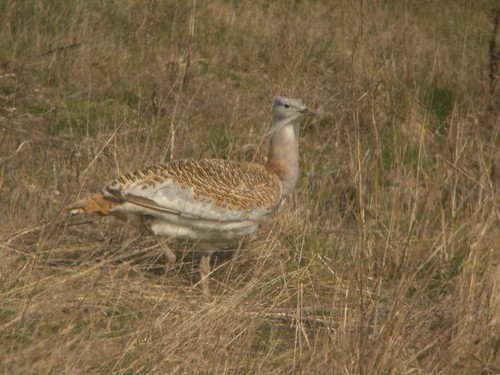 Great Bustard | by markhows