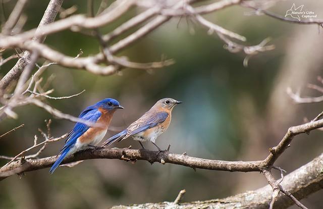 Eastern Bluebird Couple