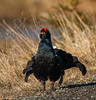Black Grouse by tods_photo