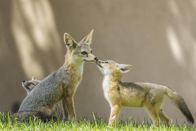 San Joaquin Kit Fox Pup & Mother