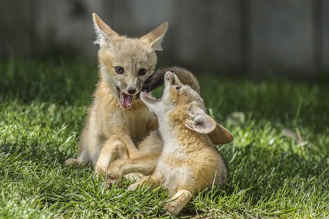 San Joaquin Kit Fox Pups Playing
