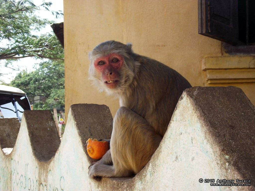 Mount Popa Monkies