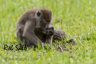 Long-tailed Macaque | by robsall