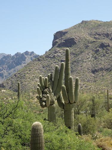 carnegieagigantea carnegiea cactus carnegieagiganteafcristate crestedsaguaros crestedcactus cristatecactus bajadaloopnaturetrail sabinocanyon coronadonationalforest santacatalinamountains catalinamountains catalinas nature tucson arizona sabinocanyon20150415 saguaro