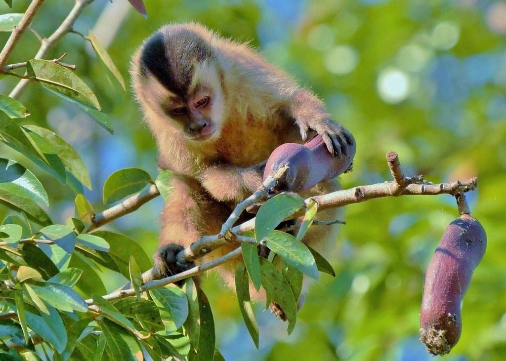 Brown Capuchin Monkey | Cuiaba River The Pantanal Brazil Sou