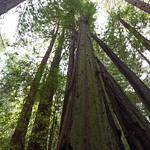 Mossy Redwood, Muir Woods