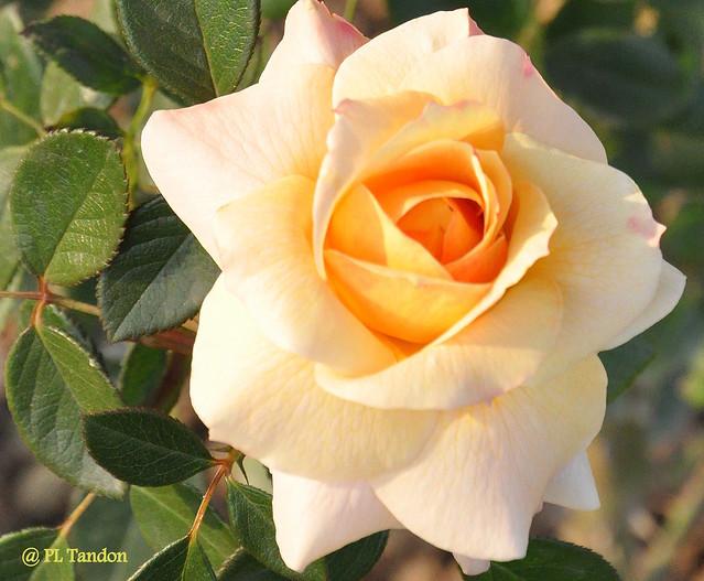 Cream-yellow rose
