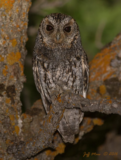 Flammulated owl | by Jmawnster