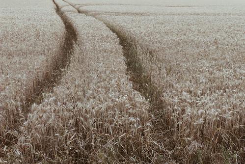 wheat phone field cambridge ely summer farm