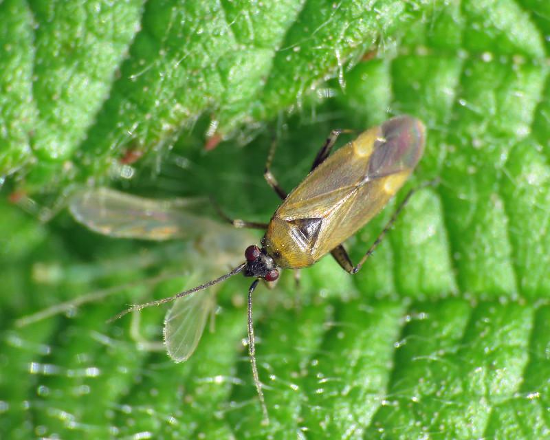 Plagiognathus arbustorum