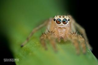 Jumping spider (Telamonia sp.) - DSC_1501