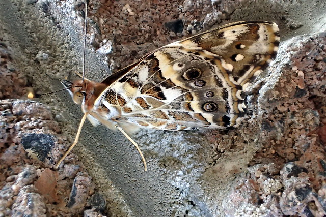 Well camouflaged butterfly - Australian Painted Lady - Vanessa Kershawi