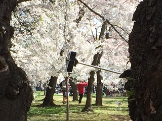 Selfie stick peeks out from behind cherry tree | by brownpau