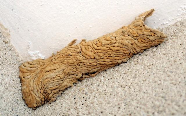 Wasp's Nest - Organ Pipe Mud Dauber  (Trypoxylon sp. Crabronidae)