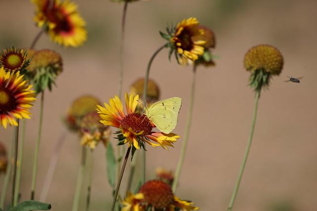 Southern Dogface & Slender Blanketflower