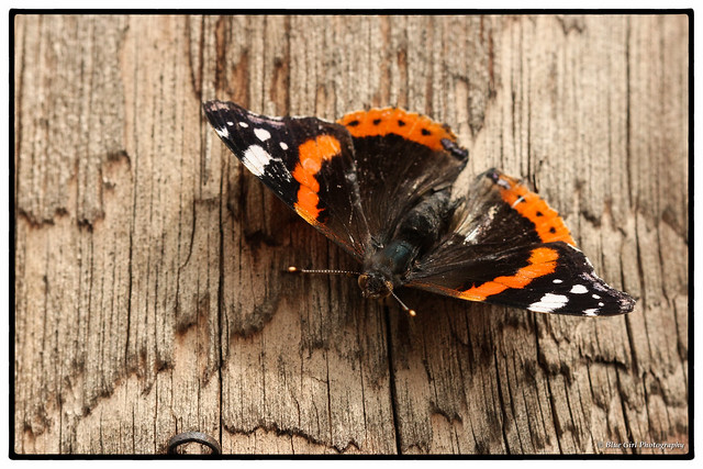 Slightly tattered Red Admiral