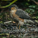 Sparrowhawk 001 by Photomad2013