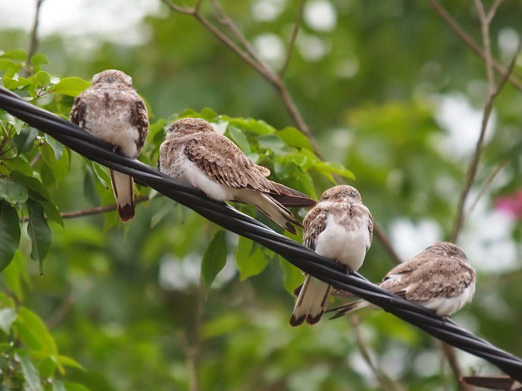 Sand-colored Nighthawks