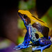 The dyeing dart frog (2) by FotoCorn