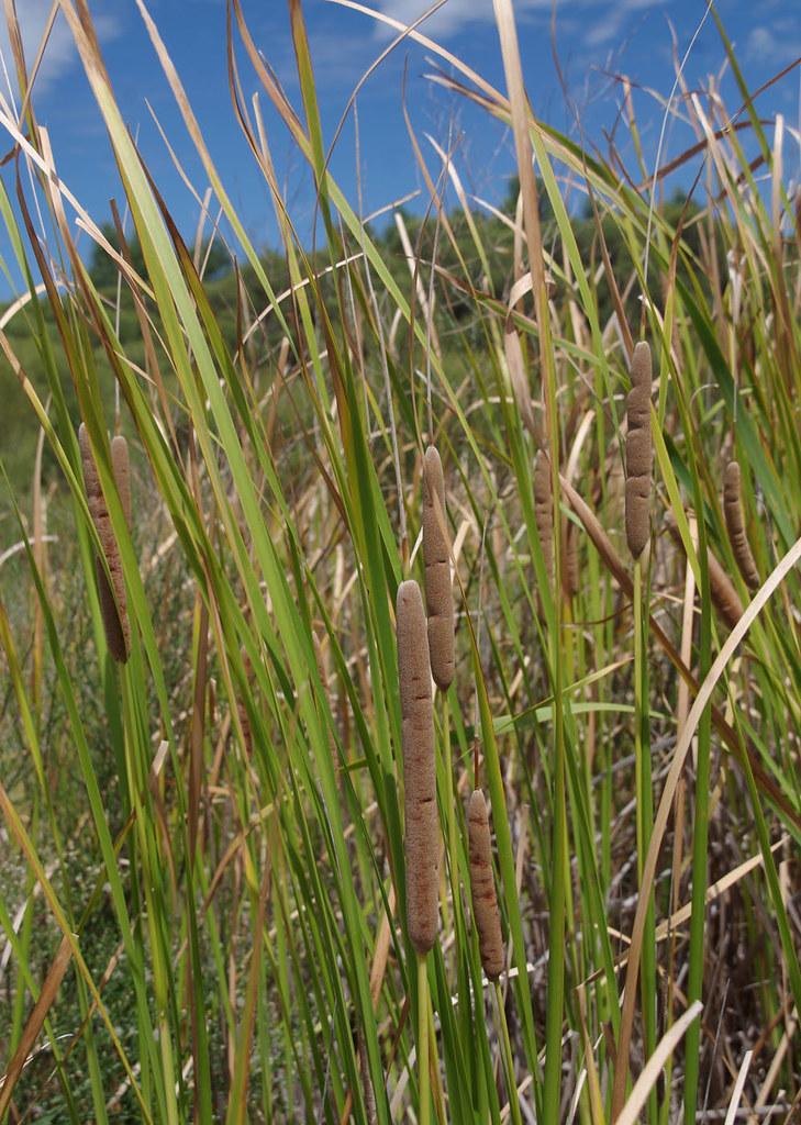 Typha domingensis?, Shirley Balla Reserve, Jandakot Regional Park, near Perth, WA, 03/02/18