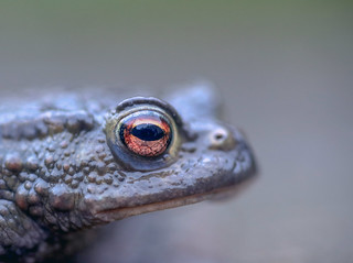 Common Toad (Bufo bufo), Ian wade