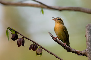 Worm-eating Warbler | by CooperativeVerse