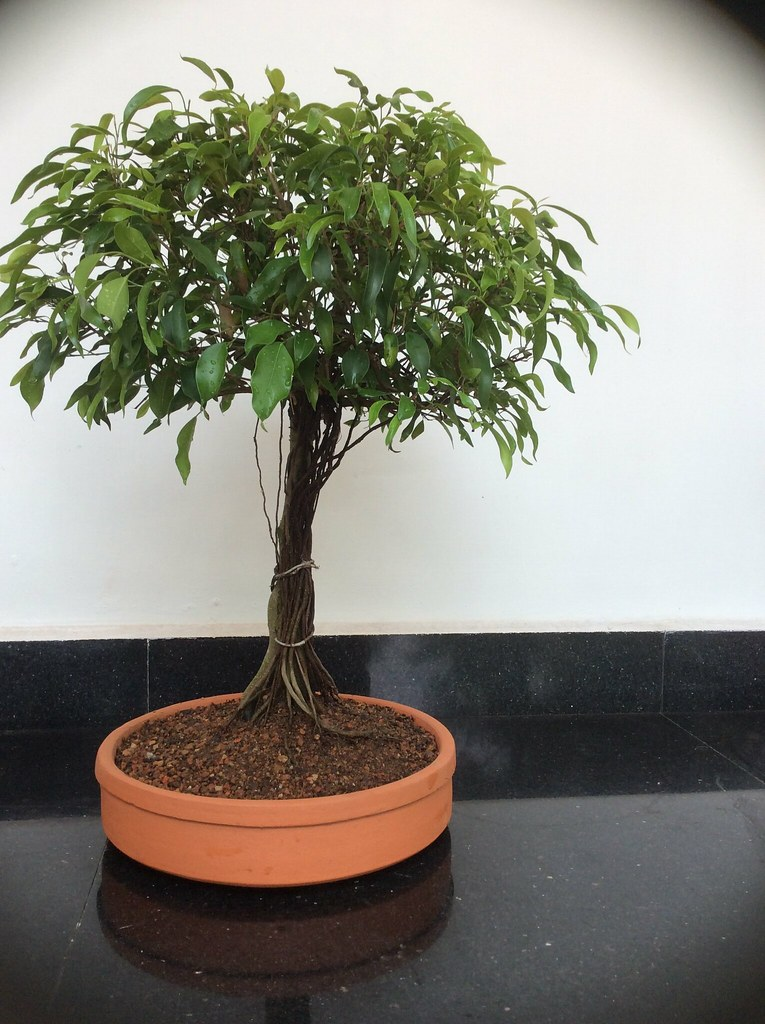 Ficus Benjamina bonsai with small leaves, eight years old. -