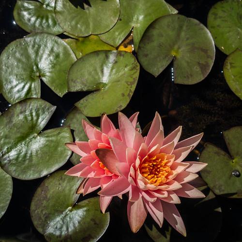 nénuphar fleur kabbinakad karnataka inde ind
