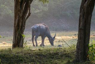 Bubalus arnee   by seghal1