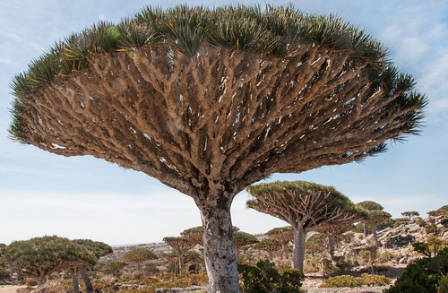 Ile deSocotra_Février 2015_Dragonniers. | by Pipaillon