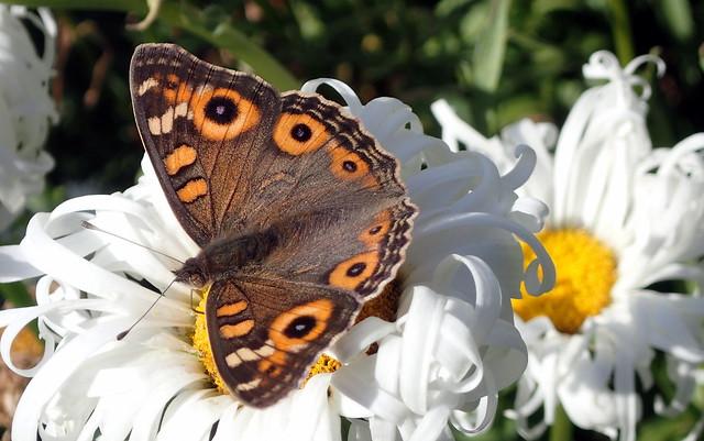 Butterfly - Meadow Argus - Junonia villida - Home Garden