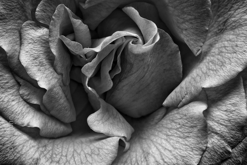 Rose Details