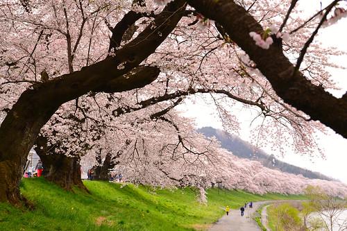 oogawara_sakura_2015-05