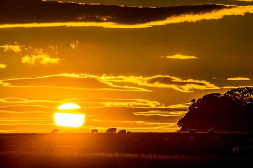 england sun nature silhouette rural landscape golden warm sheep farming warmth northumberland pastoral