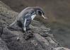 Galapagos Penguin (endemic) by tickspics 