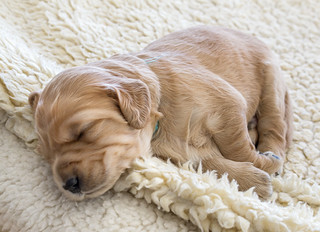 sleeping puppy | by Muffet