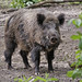 Wild Boar - Photo (c) Zweer de Bruin, some rights reserved (CC BY-NC-ND)