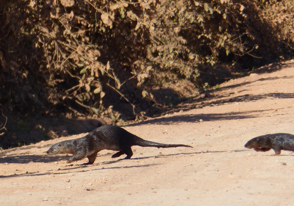 Neotropical Otters (Lontra longicaudis) female with young crossing the road ...