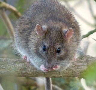 Rat | by Peanut1371