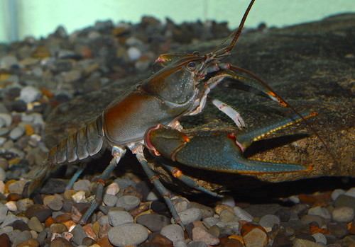 Big Sandy crayfish | by U. S. Fish and Wildlife Service - Northeast Region