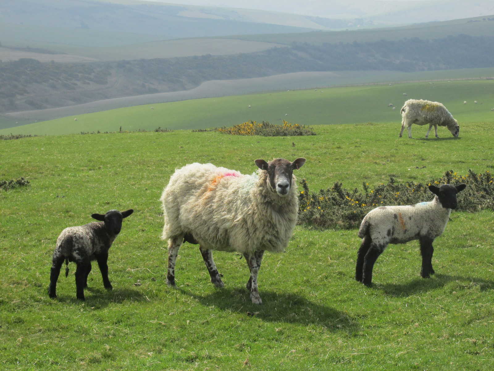 April 6, 2015: Glynde to Seaford Sheep family on South Downs