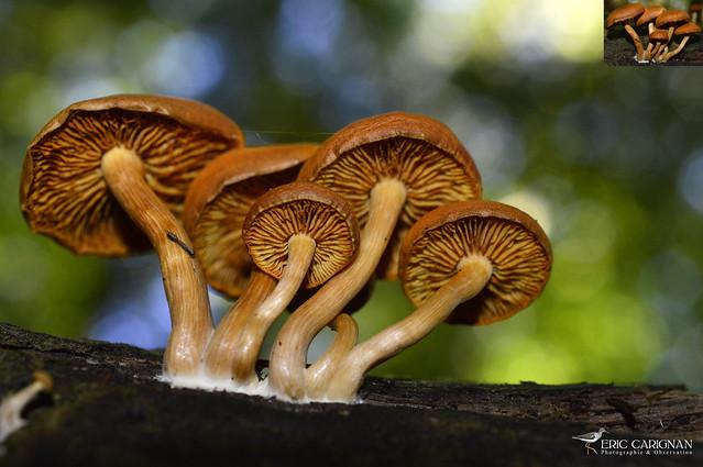Gymnopile S.P. - Gymnopilus