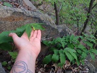 Maianthemum racemosum 2, Accotink, 4-23-15 | by FritzFlohrReynolds