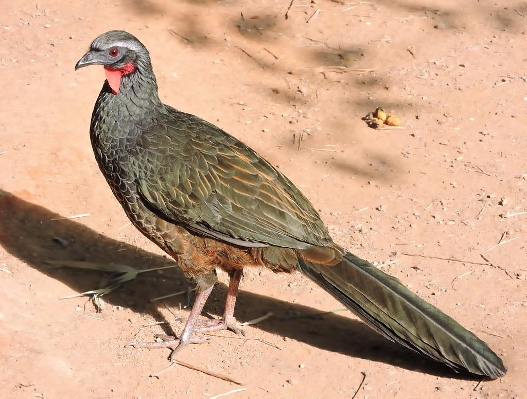 Jacupemba/ Rusty-margined Guan DSCN2556