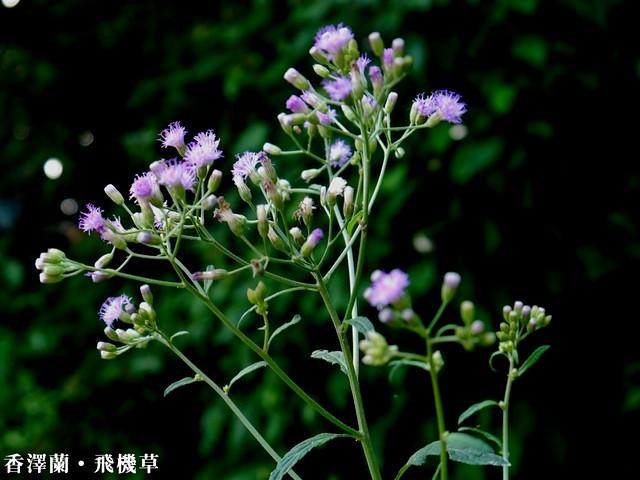 香澤蘭(飛機草)