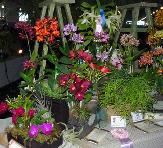 the 2015 pacific orchid exposition, Cattlianthe Tutankamen 'Pop' (center) in the exhibit  area, i purchased it   2-15
