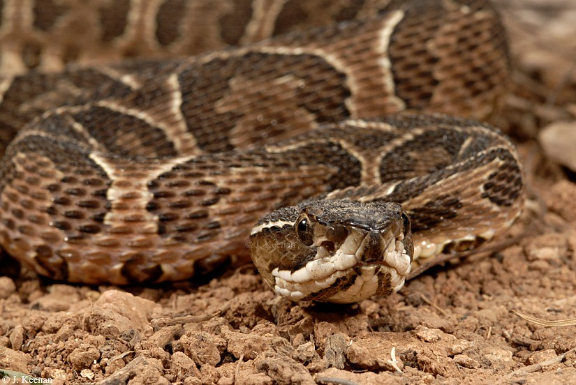 Urutu - Bothrops alternatus